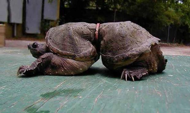 Chú rùa này đã bị mắc kẹt trong 1 chiếc vòng bằng kim loại từ khi còn nhỏ. Nó không thể tự thoát ra được và phải mang theo chiếc vòng hàng chục năm trời.