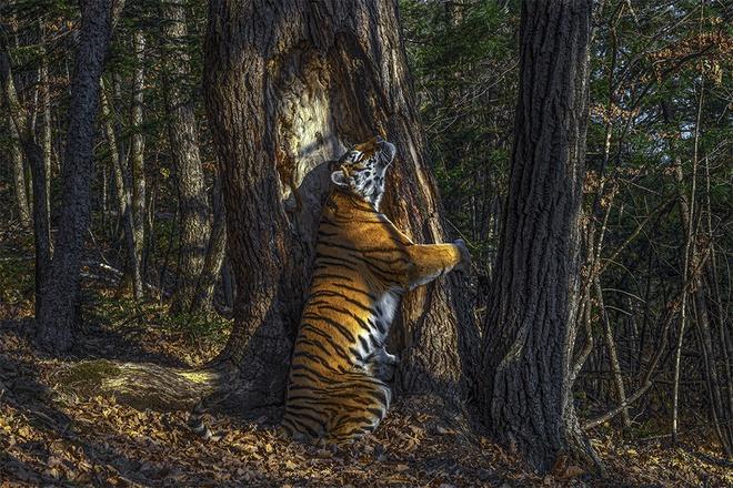 Bức ảnh con hổ cái ôm cây linh sam Mãn Châu. Ảnh: AP