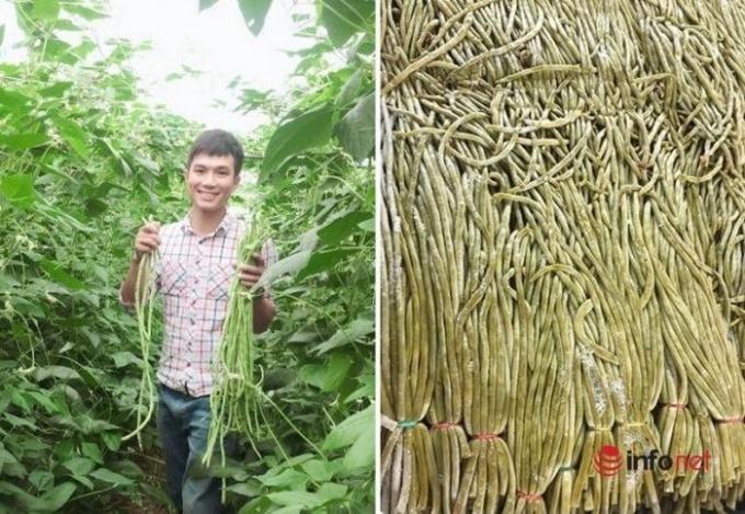 Đậu đũa muối chua xuất sang Đài Loan