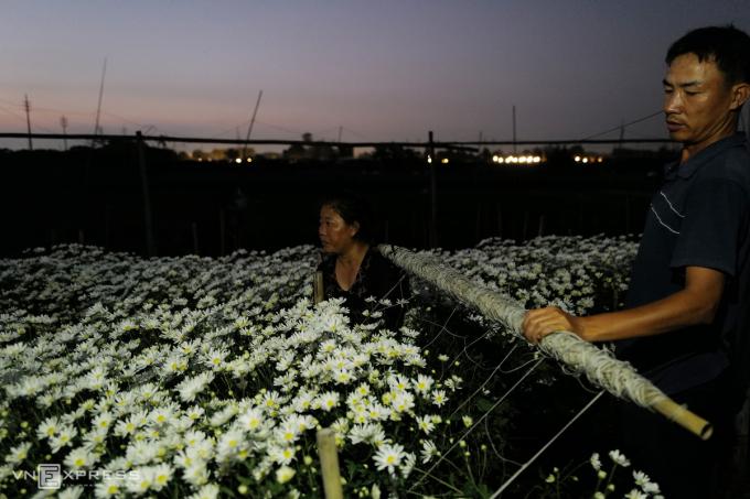 Mỗi luống hoa khi trồng đều được giăng dây để chống đổ, cây hoa mọc cao và dễ thu hoạch.