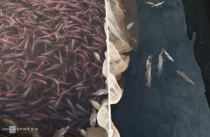 Nước cạn trong khi cá nuôi trong lồng dày đặc, các hộ dân gặp khó khi cho cá ăn vì sợ chúng sẽ quẫy đạp mạnh khiến cát và bùn đất bám vào mang, có thể gây chết hàng loạt(Ảnh: VNexpres)