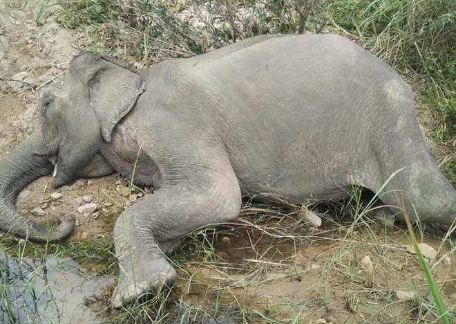 Chú voi Yẵ Tao chết sau khi mệt mỏi, chán ăn.