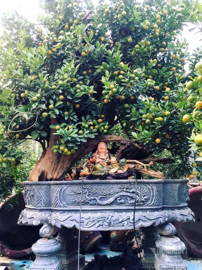 Quất cảnh gỗ lũa tại nhà vườn Tứ Liên.