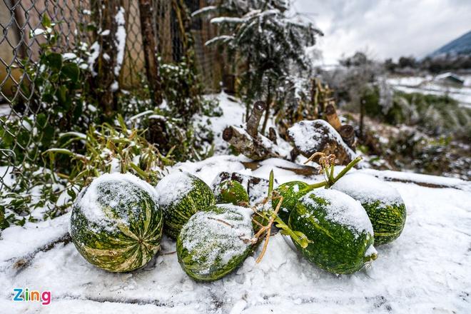 Băng tuyết gây thiệt hại nặng nề cho ngành nông nghiệp Lào Cai. Ảnh:Phạm Thắng.