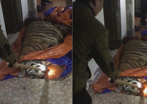Con hổ nghi bị chích điện được phát hiện trong một nhà dân ở xã Quang Diệm, huyện Hương Sơn, Hà Tĩnh đêm 19-1 - Ảnh: P.X.H.