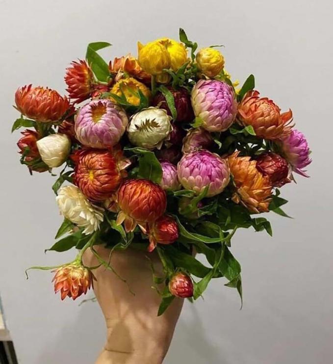 Cúc bất tử có xuất xứ từ Trung Quốc đang đổ về chợ Tết