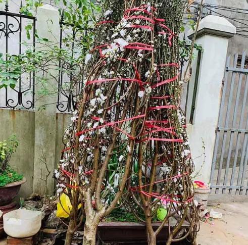 Loại đào này được rất nhiều người dân ở Hà Nội mua chơi Tết