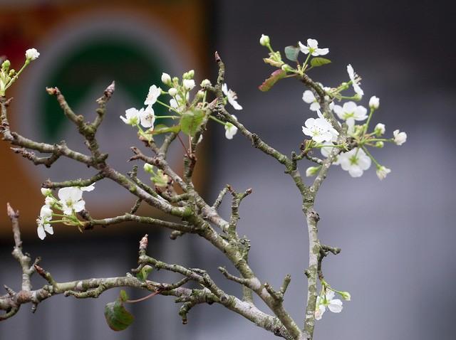 Hoa lê trắng tiền triệu ngập tràn đường phố Hà Nội sau Tết