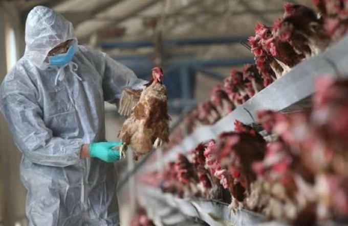 Lần đầu tiên thế giới ghi nhận cúm A H5N8 lây từ gia cầm sang người