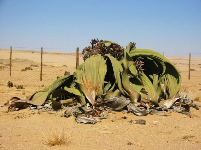 Welwitschia mirabilis hay có biệt danh bạch tuộc sa mạc do hình dạng kỳ dị của những chiếc lá. Loài thực vật này chỉ tồn tại ở sa mạc Namib ở Angola, xuất hiện từ thời kỳ khủng long và có thể sống từ 400 - 1.500 năm.