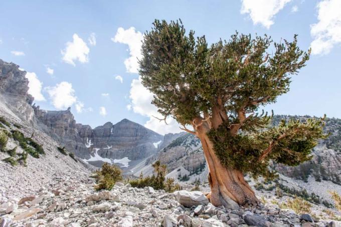 Nevada Basin là nơi tập trung những cây thông Bristlecone với hình dạng kỳ lạ.