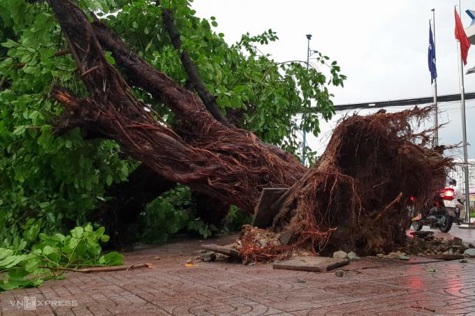 Tại giao lộ Trường Chinh - Nguyễn Văn Quá, quận 12, một cây đa cao hơn 20 m, đường kính 1,5 m, bị bật gốc.