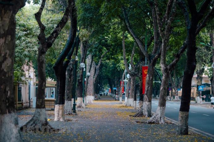Chớm hè, nhiều tuyến đường Hà Nội như thay một chiếc áo mới với những thảm lá sấu vàng. (Ảnh: Minh Sơn/Vietnam+)