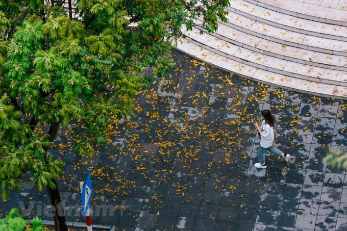 Góc phố nhỏ chợt bừng sáng trong một sớm đầu hè. Ngay cả khi đã rụng xuống, lá sấu vẫn làm đẹp cho những con phố bởi sắc vàng đặc trưng. (Ảnh: Minh Sơn/Vietnam+)