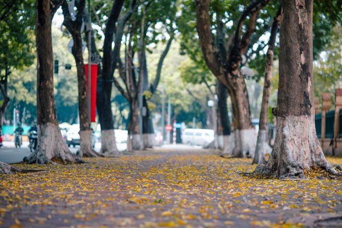 Khi những gánh hoa loa kèn còn chưa kịp hết, Hà Nội lại đón một mùa khác, 'mùa lá sấu bay.' Loài cây kỳ lạ chẳng rụng vào mùa thu lại chọn thời điểm giao mùa mà thay lá. (Ảnh: Minh Sơn/Vietnam+)