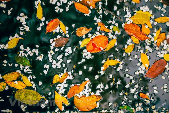 Lá vàng rơi từng đợt, từng lớp xếp xen kẽ thành một tấm thảm to, đẹp đẽ. (Ảnh: Minh Sơn/Vietnam+)