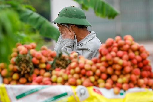 Bắc Giang thiếu khoảng 5.000 lao động thu hoạch vải