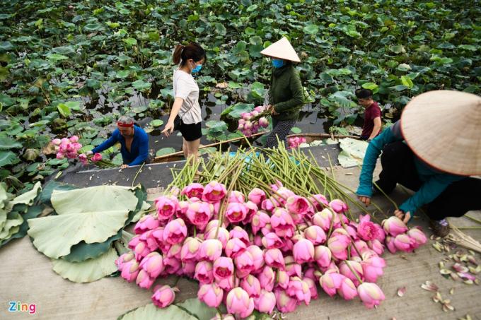 Khách đến mỗi lúc một đông, chủ yếu là người mua buôn hoặc lấy về để ướp trà sen. Mỗi đơn hàng ít cũng 100-200 bông.