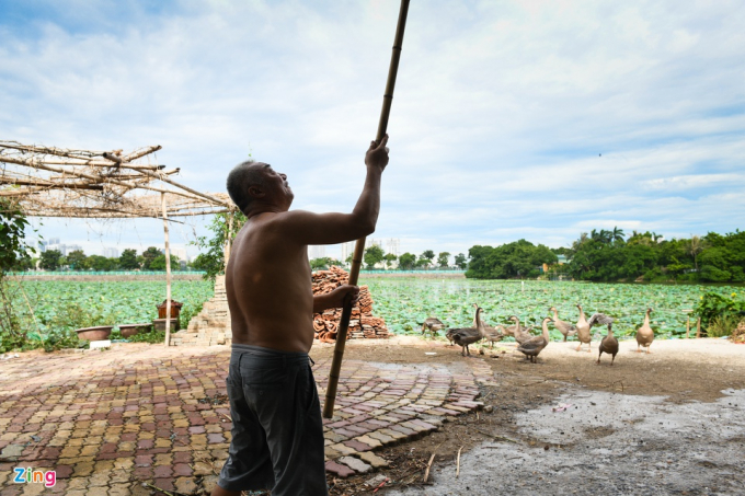 Ngoài việc chăm bẵm cho 3 ha sen, nuôi thêm vài con ngỗng, con gà..., ông Thành cũng không làm thêm nghề nào khác.