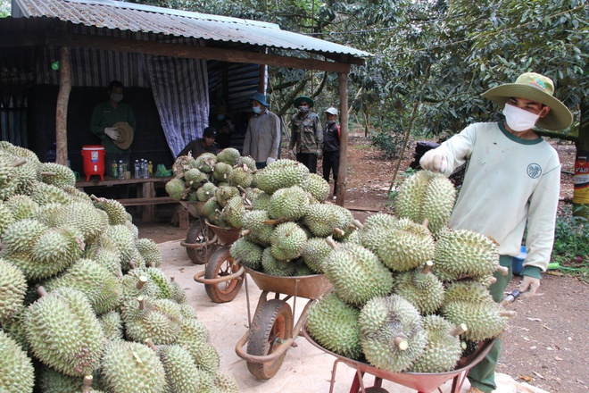 Đắk Lắk kêu gọi hỗ trợ tiêu thụ hơn 80.000 tấn sầu riêng, bơ