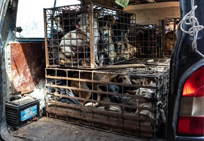 Những con chó bị đem đi tiêu thụ phục vụ mục đích giết mổ lấy thịt