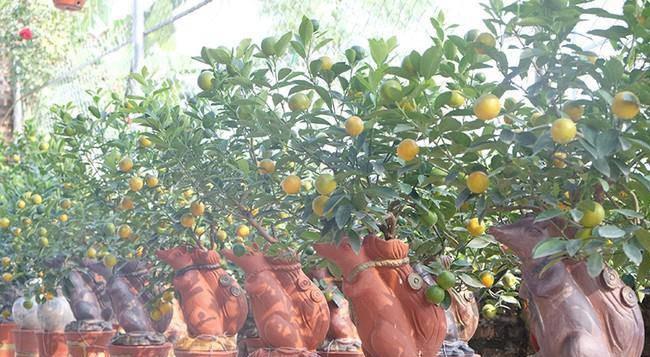 """Năm nay, vườn Đức Thọ """"tung hàng"""" hơn 100 bình quất chuột cõng quất. Trong đó có hơn 70 bồn cây ra quả, thế đẹp, bán từ 2 triệu đồng trở lên."""