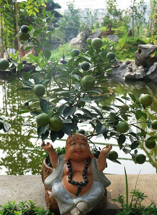 """Tại làng quất Tứ Liên, số lượng quất truyền thống hiện nay bị """"lép vế"""" so với quất cảnh hay còn gọi là quất bonsai. Từ dưới đất, quất được đưa lên các chậu có hình thù khác nhau, uốn theo thế chậu khá công phu..."""