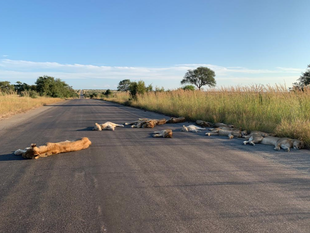 Sư tử thảnh thơi ngủ trưa ở Vườn Quốc gia Kruger khi Nam Phi áp dụng lệnh phong tỏa. Ảnh: Reuters