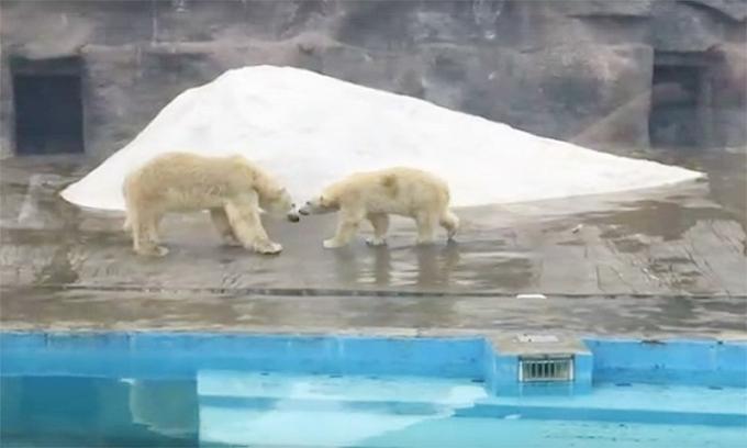 Gấu Bắc Cực giết chết bạn tình vì... từ chối giao phối