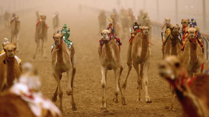 Đây là trải nghiệm khá đặc trưng tại Trung Đông, và điều đặc biệt ở đây là bạn đua lạc đà bằng những con robot nằm trên lưng. Khi được điều khiển từ xa, chúng giật mồm lạc đà làm chúng chạy nhanh hơn. Giải thưởng cho người thắng cuộc trị giá hàng triệu đô.
