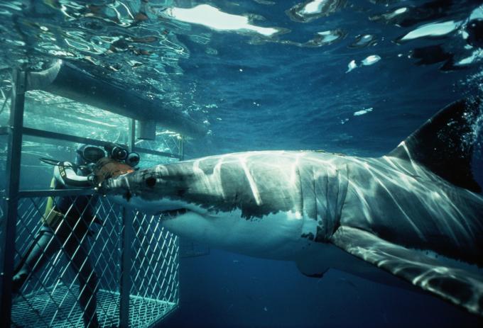 Bạn sẽ được ngồi trong một chiếc lồng, thả sâu xuống biển và thưởng thức cảm giác khi cá mập trắng lớn lao vào bạn.