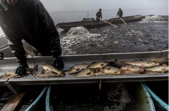 Những con cá chép được bắt và thả bơi trong buồng tắm, đợi chúa Jesus đến