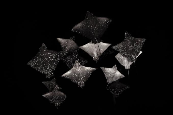Bức ảnh bầy cá đuối đốm của nhiếp ảnh gia người Anh Henley Spiers giành giải Á quân hạng mục đen và trắng.