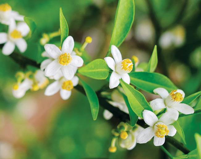 Tôi tìm đến bông hoa chanh bé li ti để ngẫm cái mùi hương mỏng manh của nó để giúp mình đi qua ngày tháng.