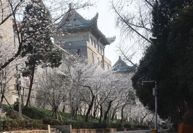Khuân viên trường đại học Vũ Hán phủ sắc hoa anh đào (Ảnh:China Daily/Chen Liang).