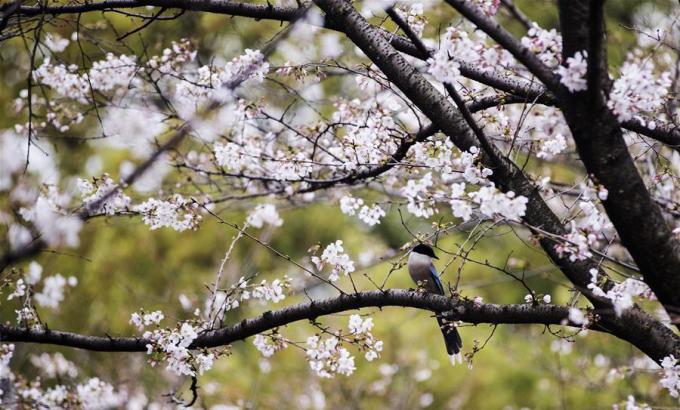 Giữa tháng 3, những cây hoa anh đào tại Vũ Hán đã bắt đầu đua nở (Ảnh: Xinhua/Fei Maohua).