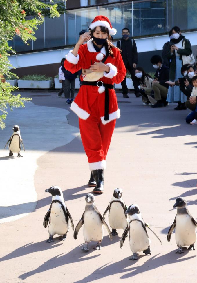 Khoác trên mình trang phục Santa, một huấn luyện viên đi dạo cùng đàn cánh cụt trong một sự kiện mừng Giáng sinh tại thủy cung Thiên đường biển Hakkeijima ở Yokohama, Nhật Bản (Ảnh: Yoshio Tsunoda/AFLO/Rex/Shutterstock).