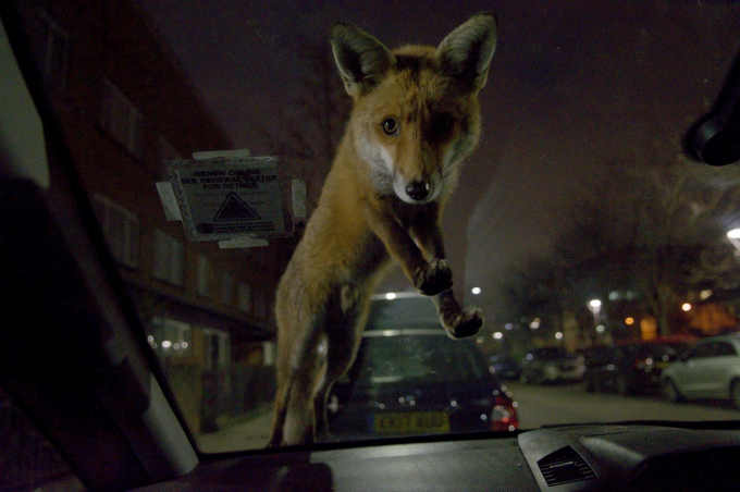 Bức ảnh chú cáo của nhiếp ảnh gia Roger Cox đoạt Giải Nhiếp ảnh gia động vật có vú của năm và giải của hiệp hội động vật có vú.