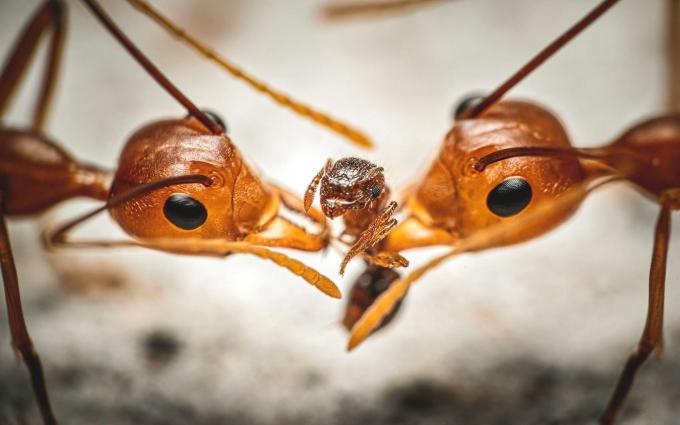 """Bức """"Kéo co"""" của Reynante Martinez giành chiến thắng chung cuộc Giải nhiếp ảnh gia côn trùng của Luminar năm 2020."""