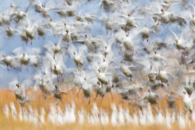 """Tác phẩm """"Cất cánh"""" của Flurin Leugger, chiến thắng Giải Nhiếp ảnh gia thiên nhiên, hạng mục các loài chim của GDT năm 2020."""