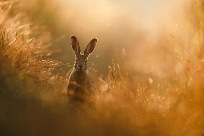 """Bức """"Giấc mơ chú thỏ"""" của Peter Lindel giành chiến thắng Giải Nhiếp ảnh gia thiên nhiên, hạng mục động vật có vú của GDT năm 2020."""