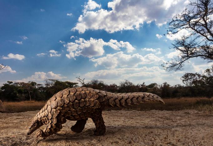 """Bức """"Loài tê tê trong khủng hoảng"""" của Brent Stirton đã đoạt giải nhất cuộc thi Giải thưởng nhiếp ảnh thế giới của Sony 2020 hạng mục thiên nhiên và động vật hoang dã."""