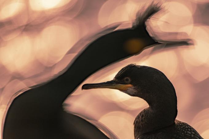 """Bức """"Cuối ngày"""" của Majed Al Za'abi (đến từ Kuwait) giành chiến thắng Giải Nhiếp ảnh gia của năm về chim và hạng mục chân dung (Ảnh: BPOTY/Cover Images)."""
